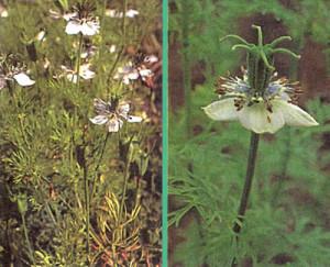 Черный тмин - Цветки. рис. 3