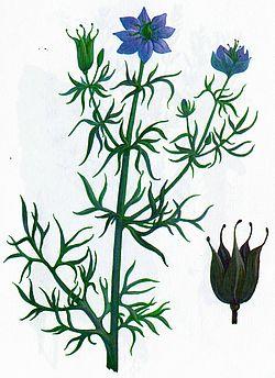 Чернушка посевная - Черный тмин - Нигелла - Калинджи - Стебель - Листья