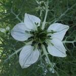 Черный тмин - Цветки. рис. 1
