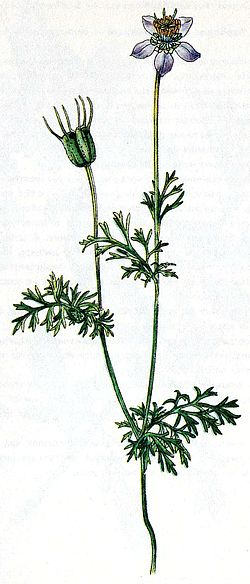 """Чернушка посевная (""""Черный тмин"""") - Nigella Sativa L."""