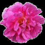 Роза Таифи