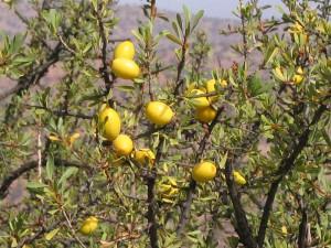 Арагновое дерево с плодами | Фото 1
