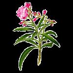Олеандр (Розовый лавр)