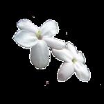 Марокканский жасмин
