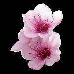 Персиковые цветки