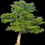 Дерево Махагон
