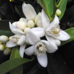 цветки бергамота